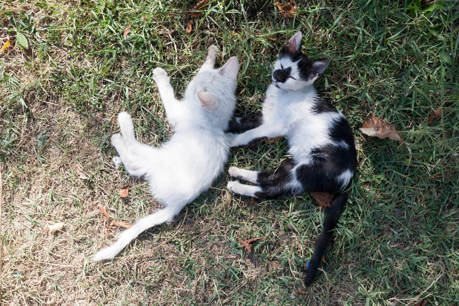 Kempové kočky