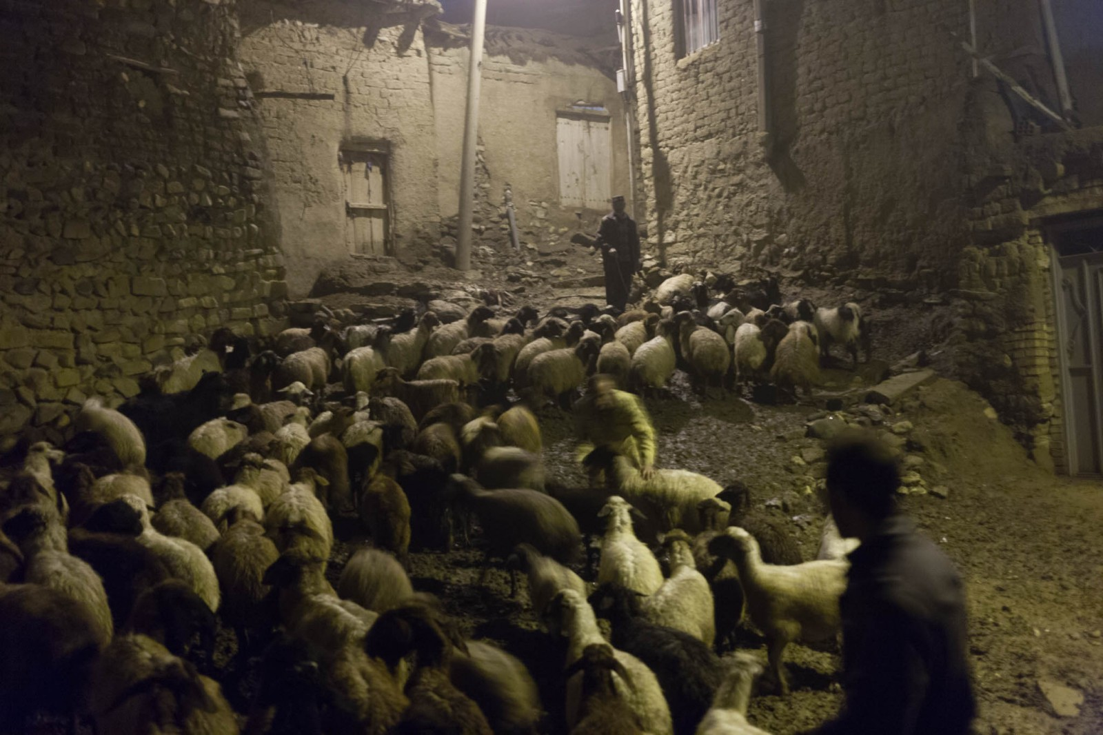 Tarzamské ovce